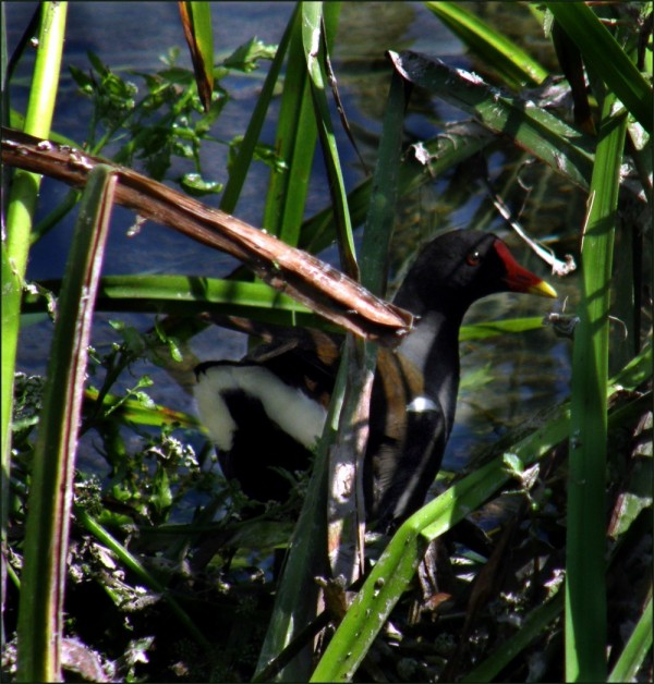 Young Gallinule