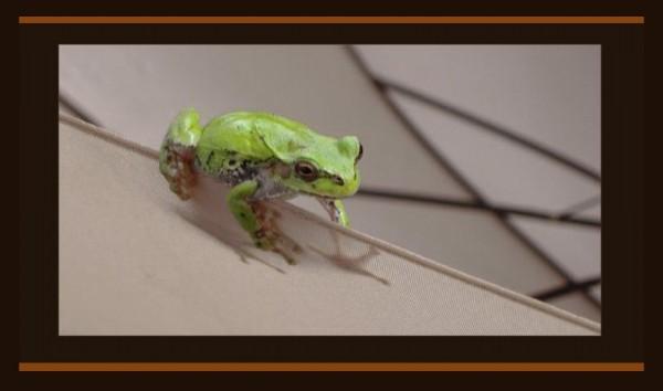 Tree Frog in The Ambrella
