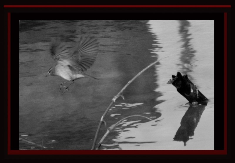 Flying Bird -  Chiffchaff Warbler