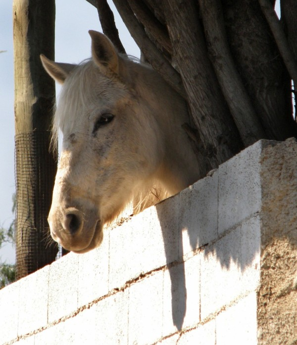 Horse in The Shade of The Tree