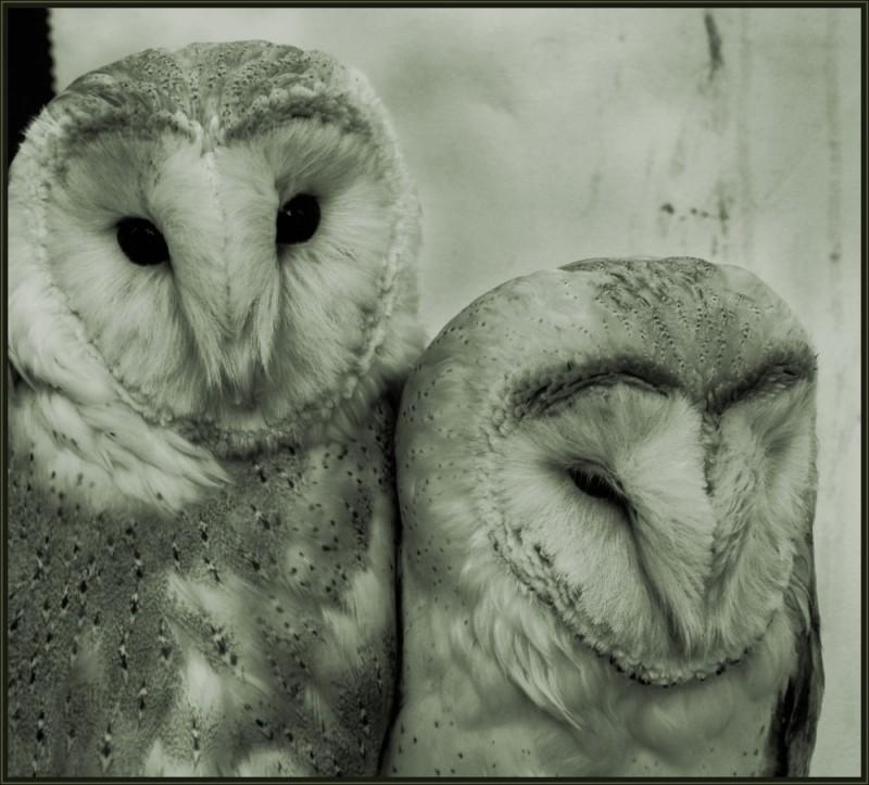 Brace of owls