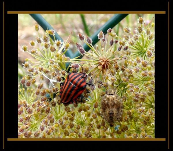 Two Shield Bugs