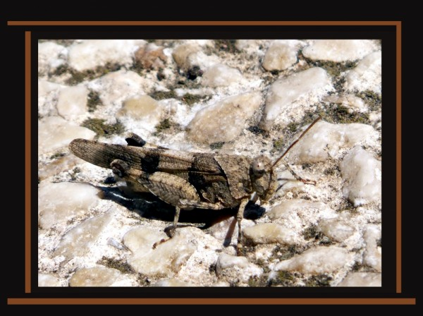 Grasshopper at The Mountain path