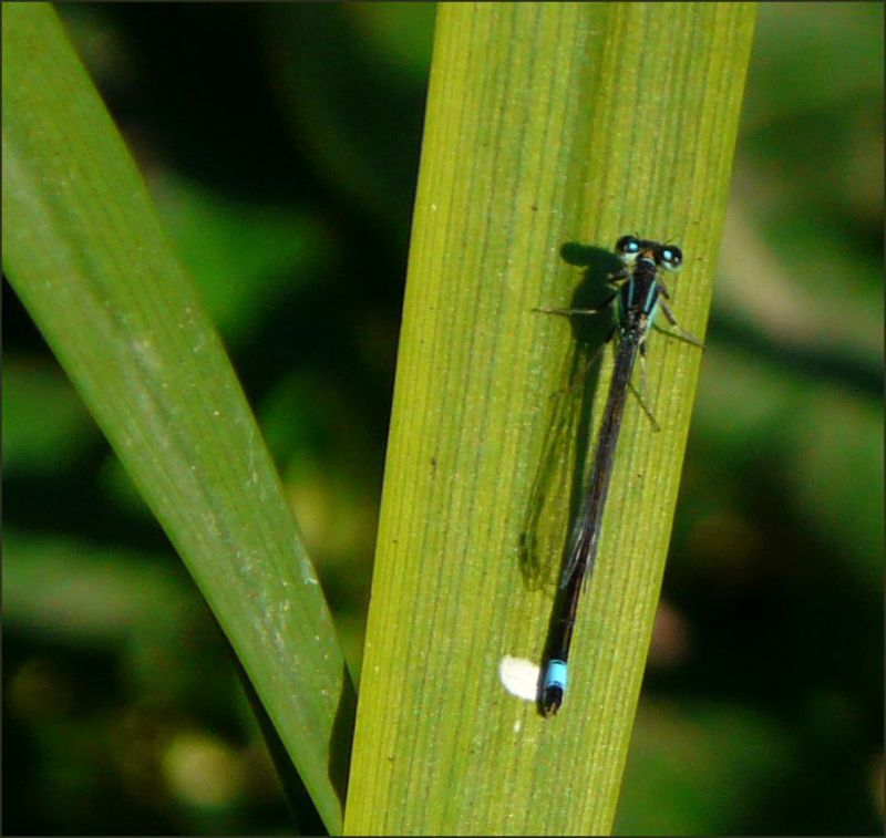 Damselfly on the Bamboo Leaf