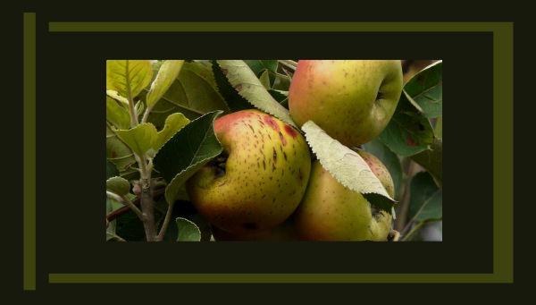 Harvest  Season  -  Spanis Apples