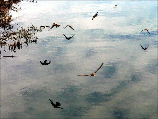 Low Flying Swallows
