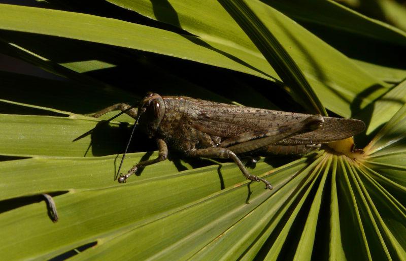 Sunbathing Grasshopper