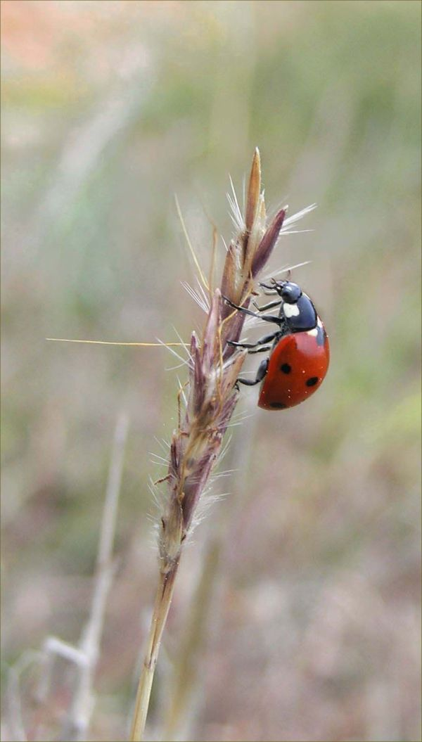 Lady Bird in The Field