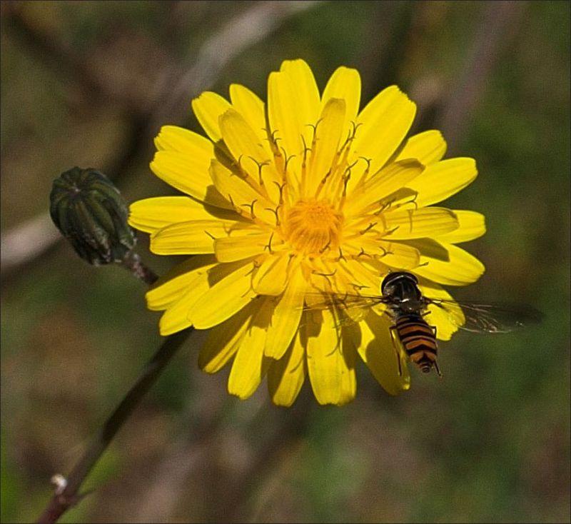 Bee on The Field Flower