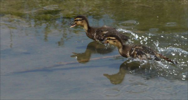 Ducklings are swimming in the full speed
