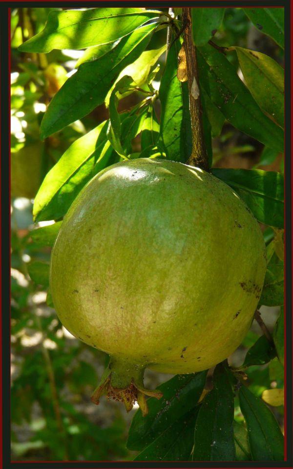 Green  Pomegranate