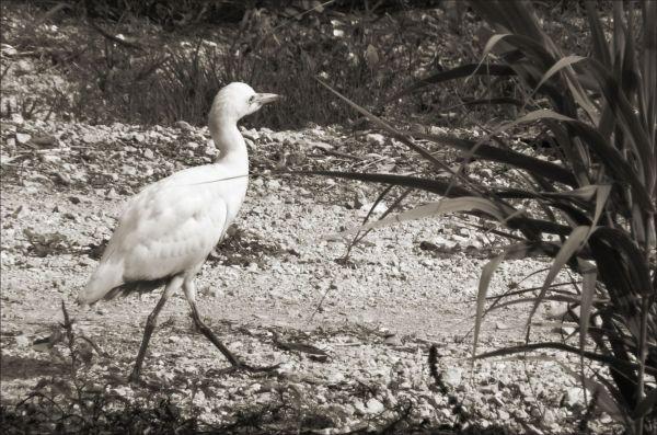 Egret - Stroll