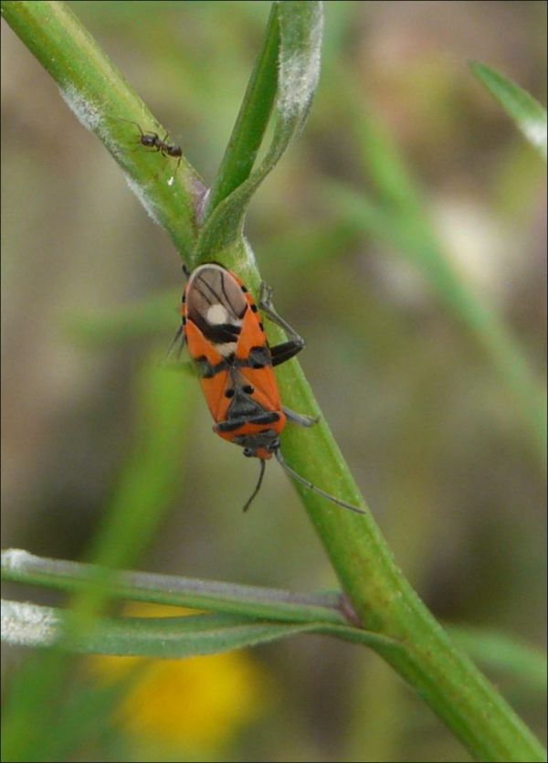 Shield Bug and Ant