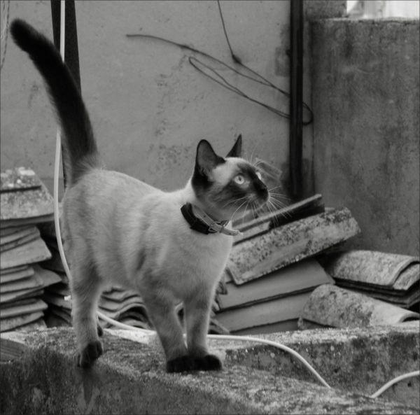 Chato The Neighbor's kitten