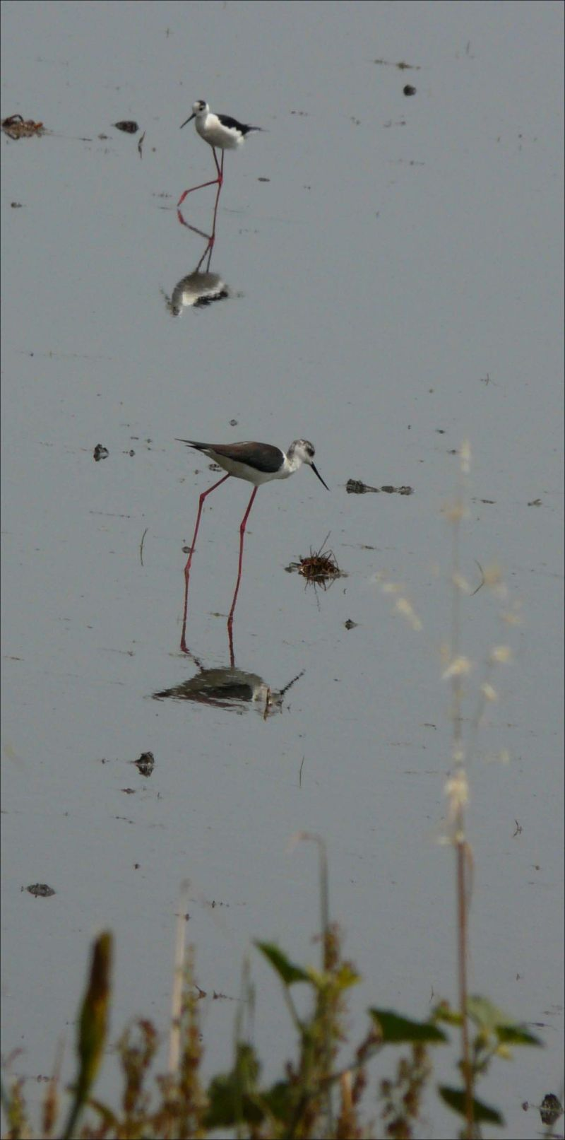 Black-winged Stilts at The Rice Fields