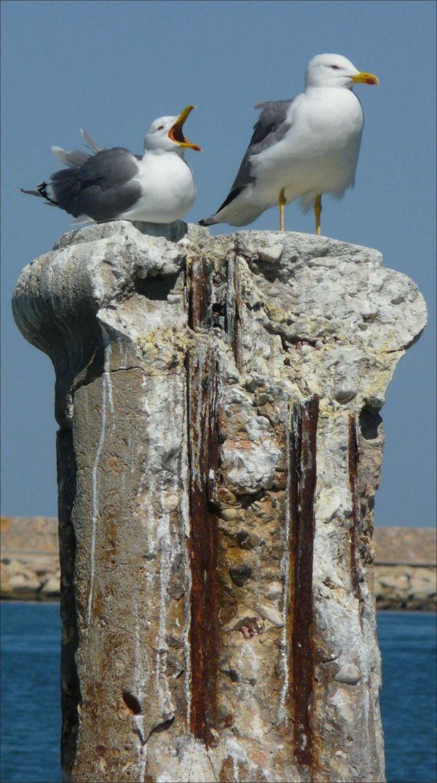 Black-tailed Gulls at Denia Harbor