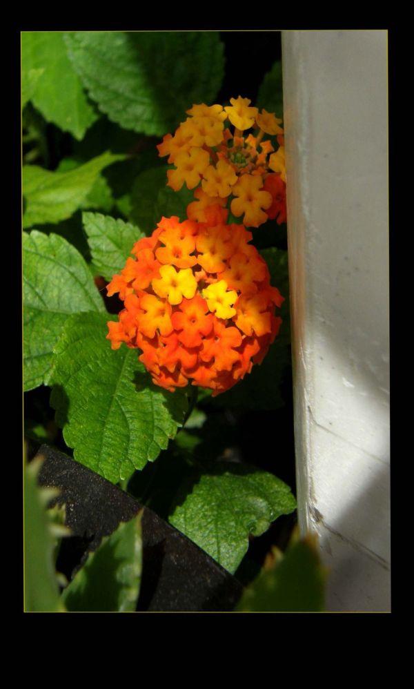 Flowering of Lantanas