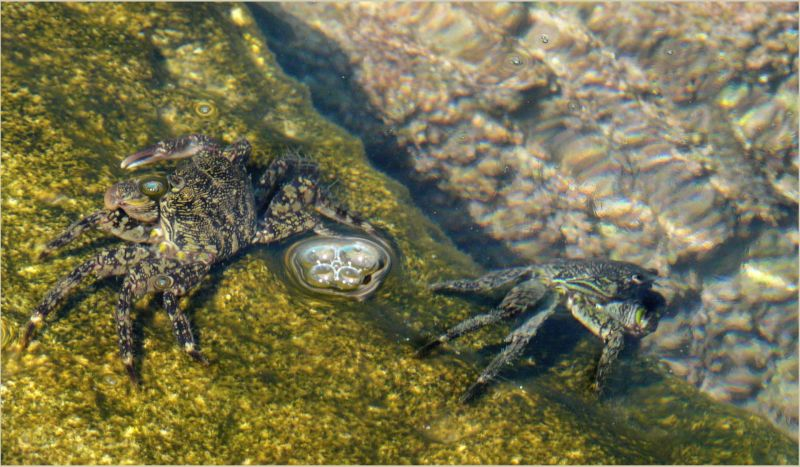 Rock Crabs at The Gandia Harbor