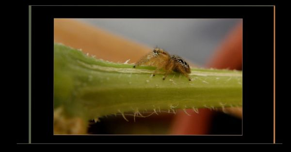 Jumping Spider on The Cucumber Vine