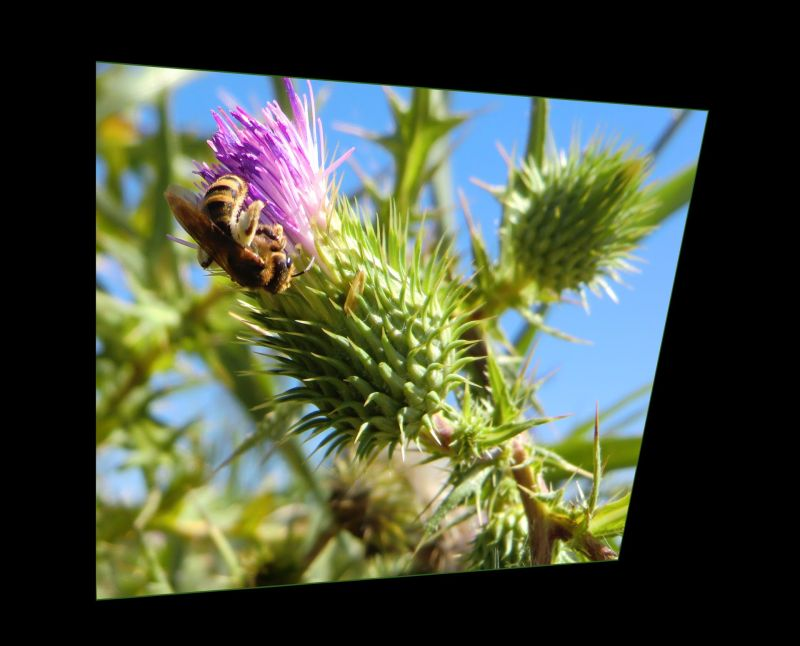 The Bud of The Field Thistle