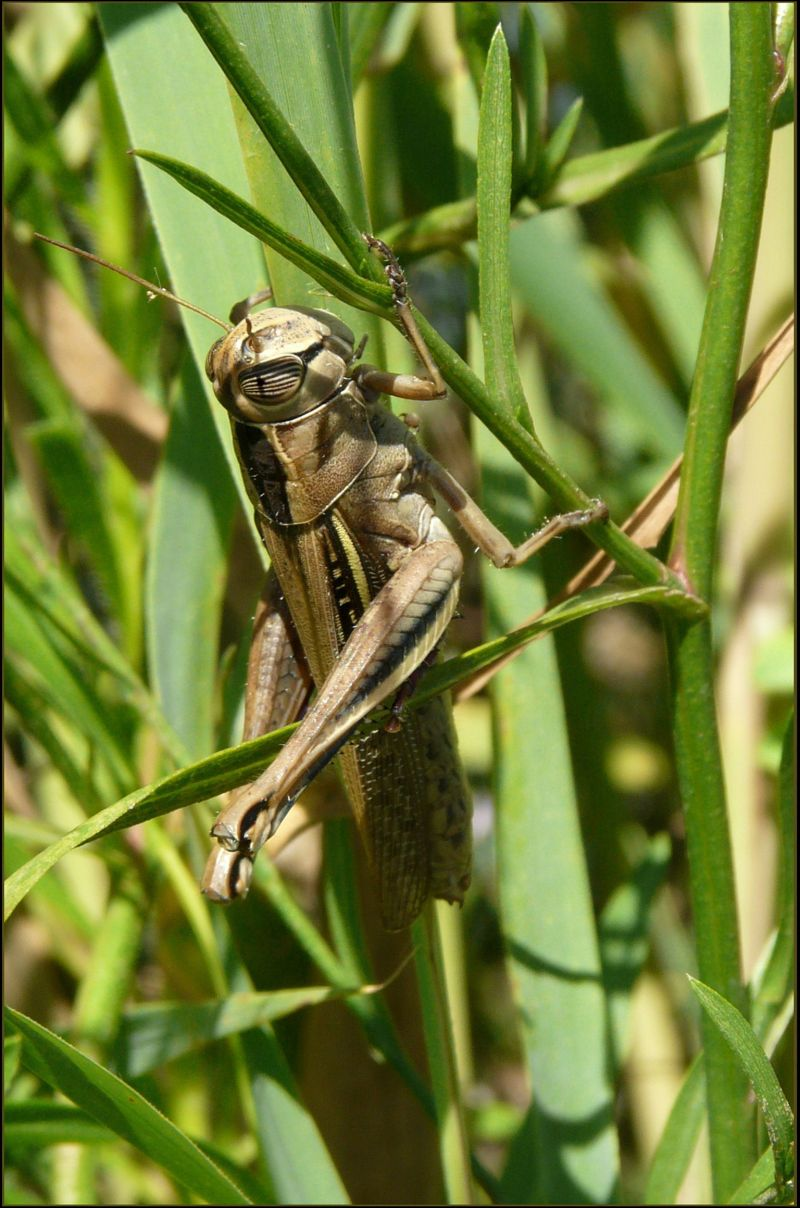 Grasshopper in the Japanese pampas grass field
