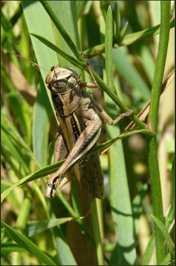 Grasshopper in the Japanese pampas grass field