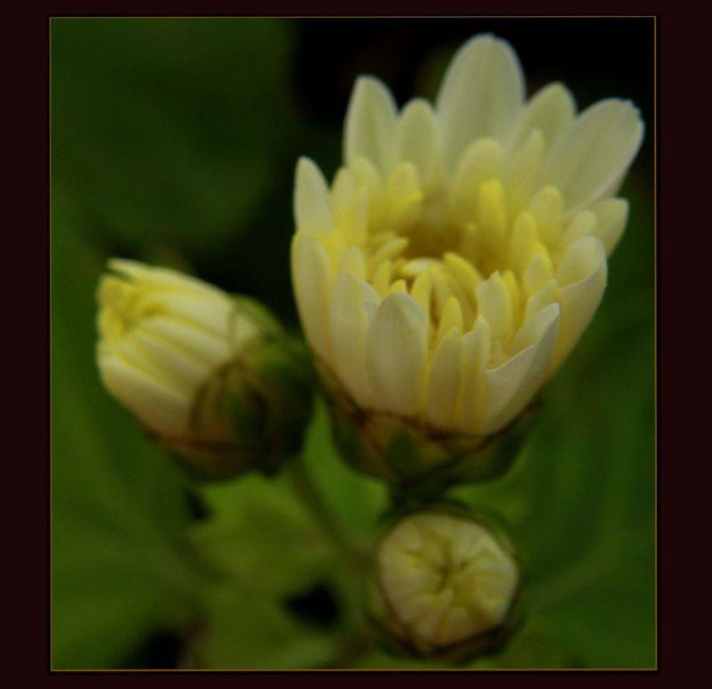 Small Chrysanthemum Buds