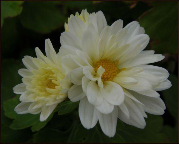 Small Chrysanthemums