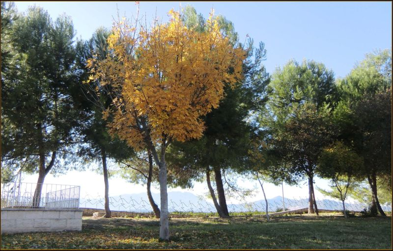 Yellow Leaves the Public Park