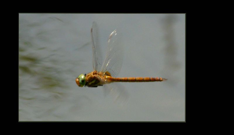 Flaying Dragonfly