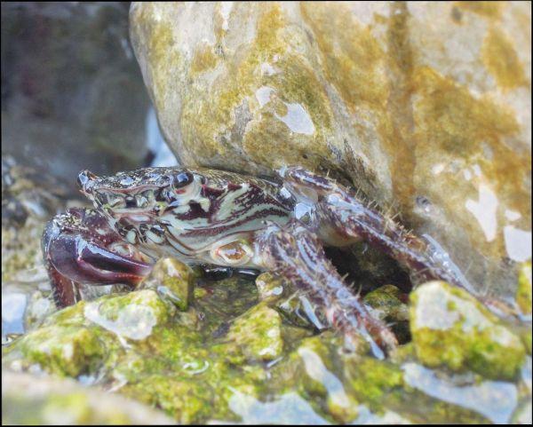 Rocky shore crab