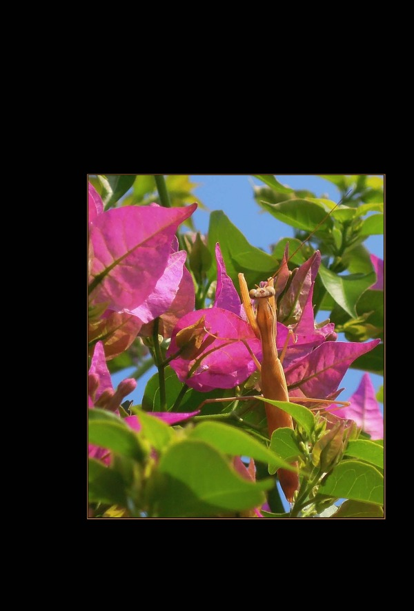Mantis & Pink Bougainvillea
