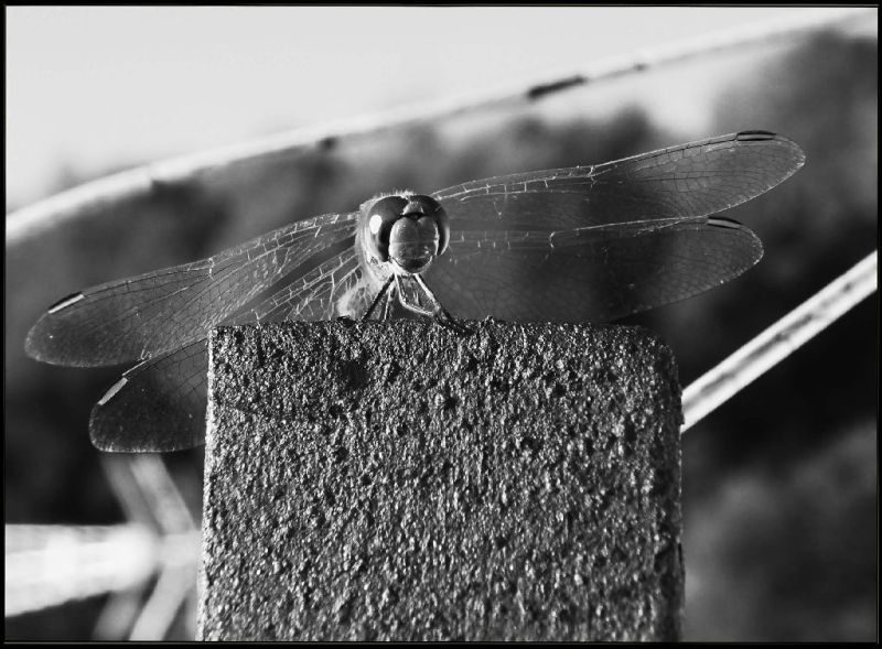 Dragonfly on My Roof Terrace