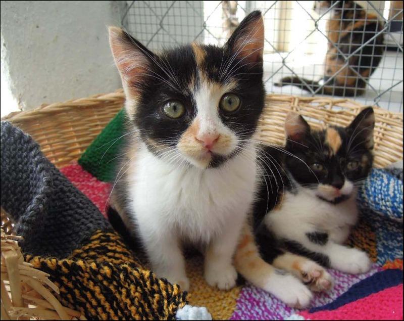 Tortoiseshell kittens - Sisteres