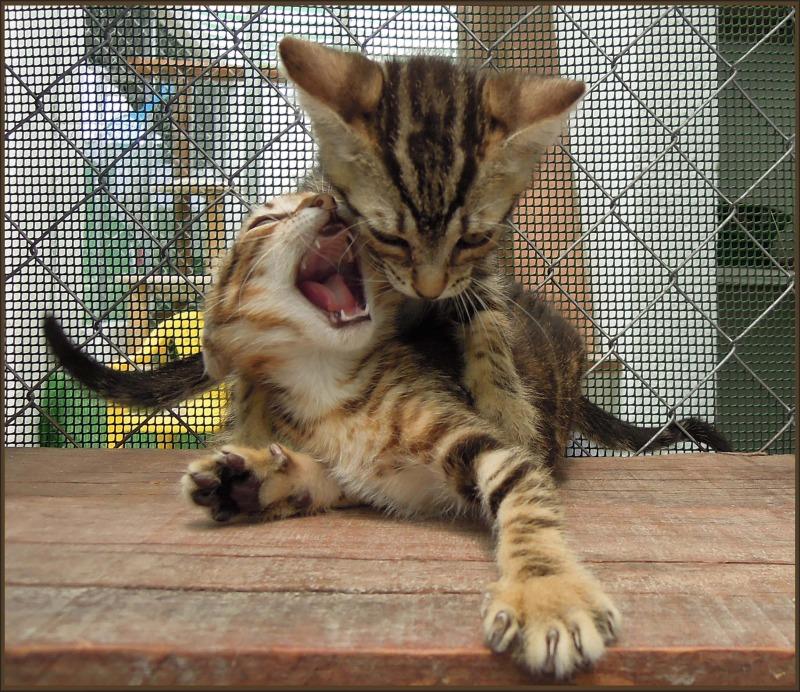 Fighting Tabby Kittens