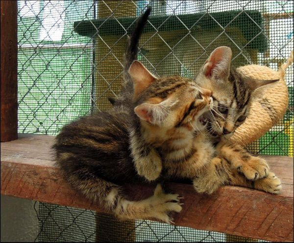 Playful Tabby  Kittens