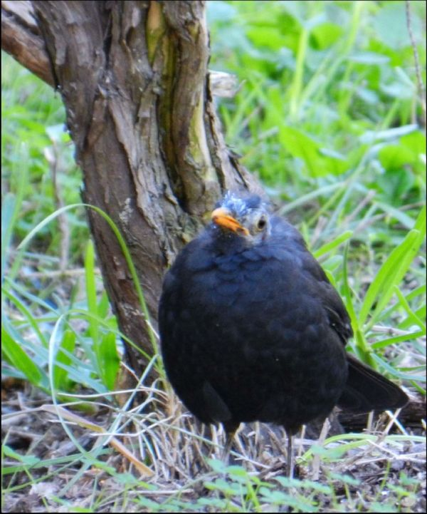 Blackbird in Gandia Park