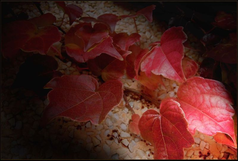 Red Ivies in The Night