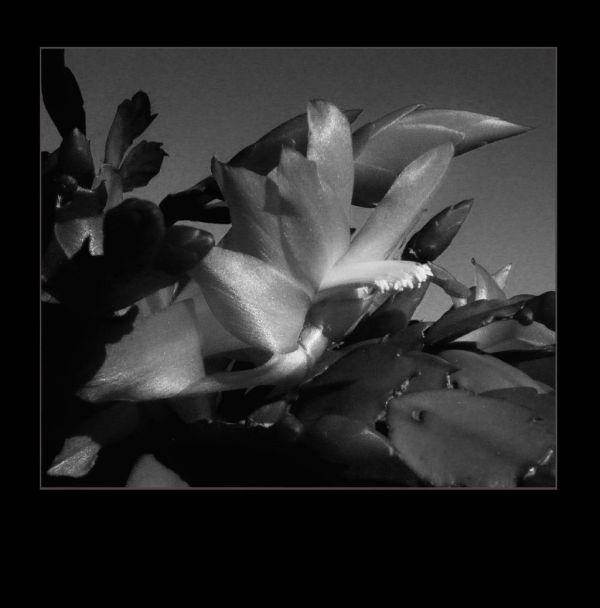 Christma Cactus