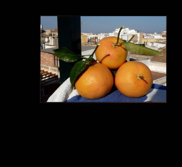 Freshly Picked  Grapefruits