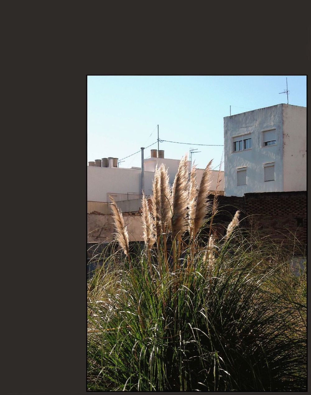 japanese Pampas Grass at The Vacant Land