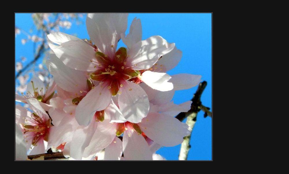 Almond Blossom in Beniarri Village