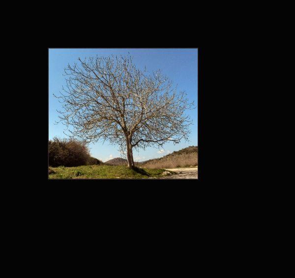 Winter Fig Tree