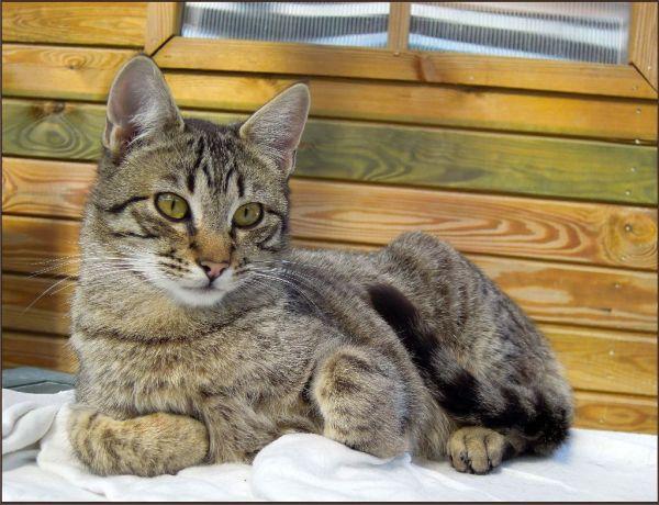 Sunbathing  Tabby Cat