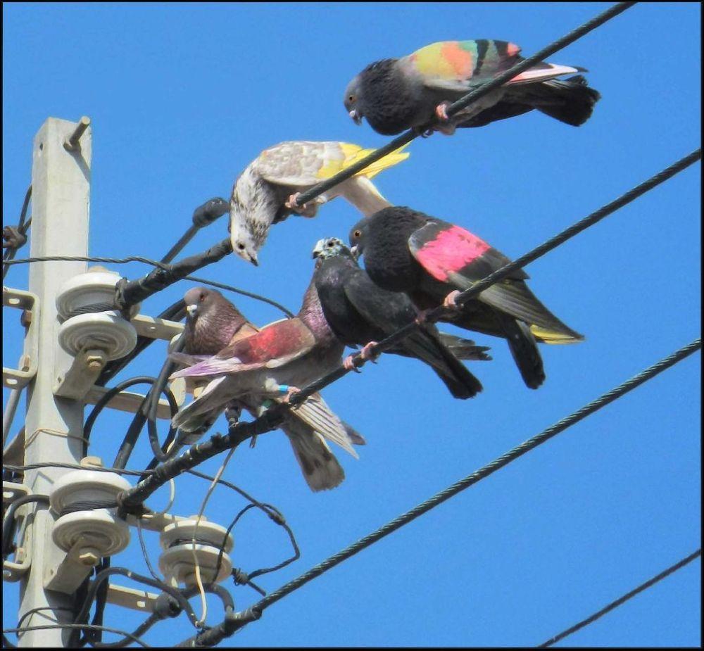 Spanish Colured Pigeons