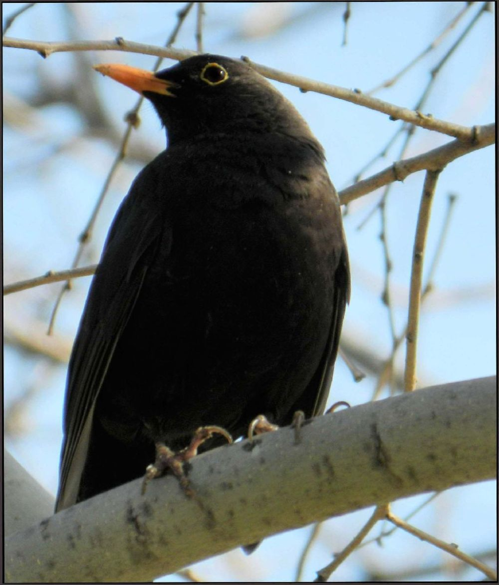 Blackbird in Gandia Park on The Tree Branch