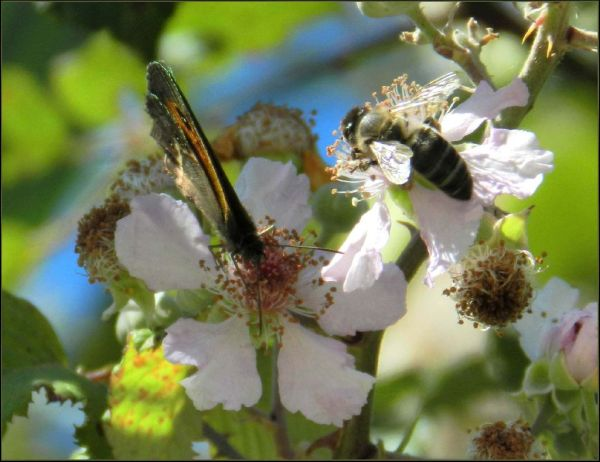 Lycaena salustius  & Bee