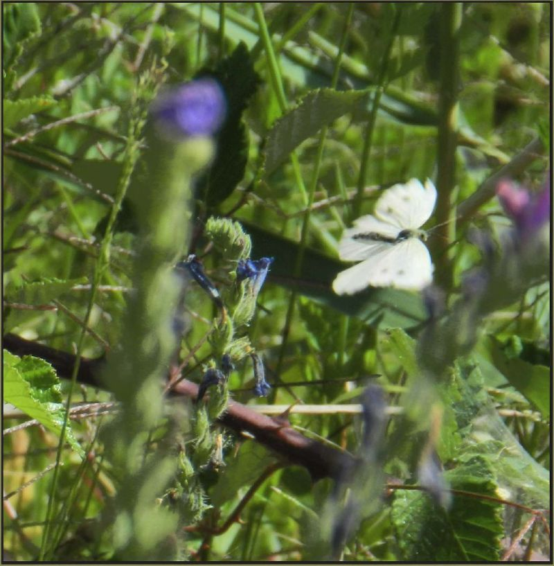 Flying Cabbage White Butterfly