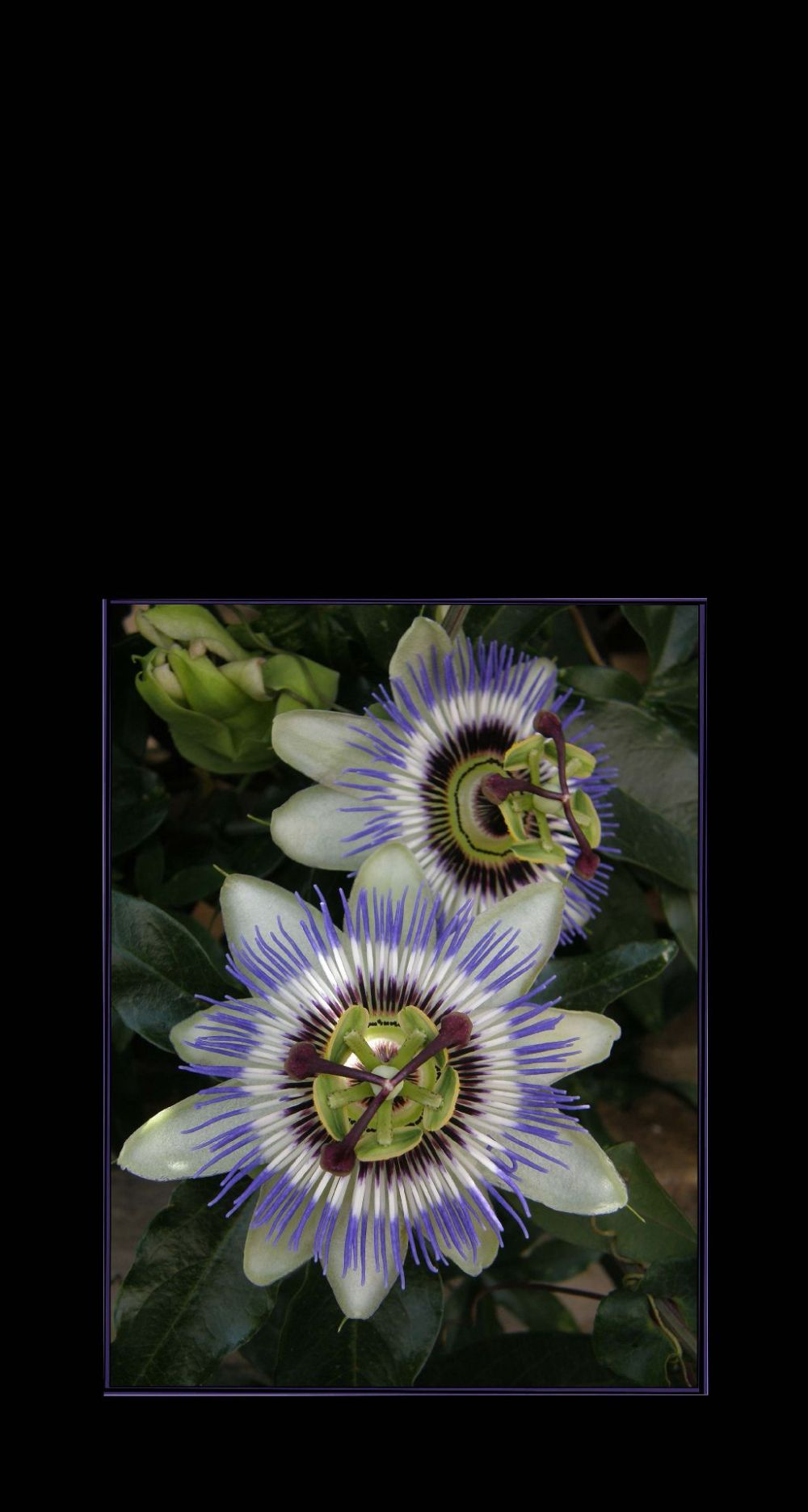 Blooming Passion Flowers