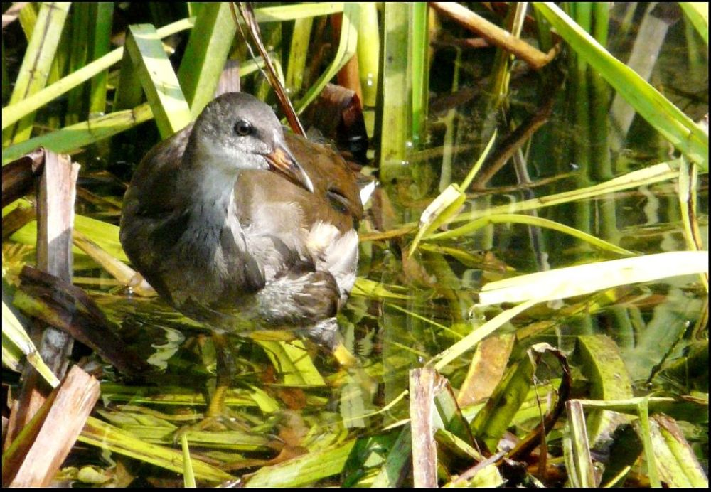Common Moorhen Chick in the stream